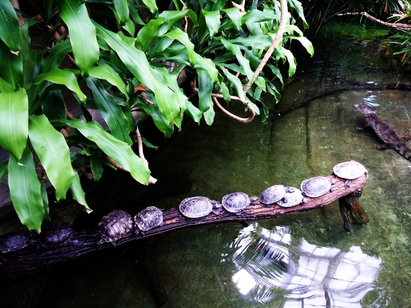 Черепахи рядком на закусь к крокодилу