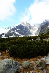 Карликовая сосна на фоне гор
